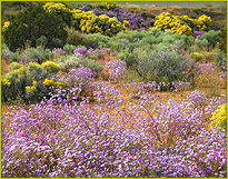 Asters and Chamisa in bloom in Northern New Mexico